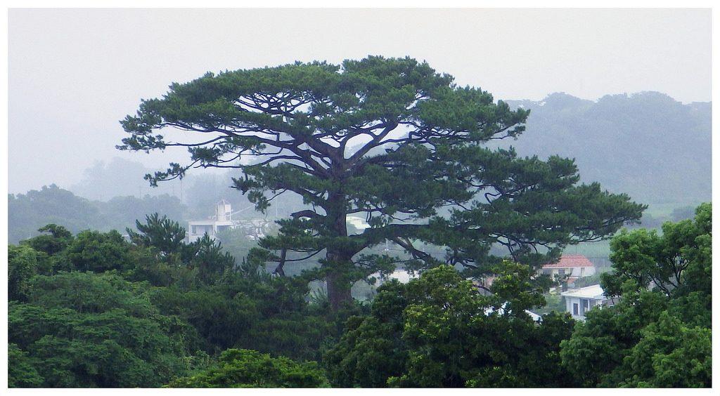 ryukyu-pine - what does shotokan mean